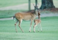 Doe and fawn on the golf course.jpg