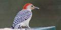 Red bellied woodpecker's easy meal.jpg
